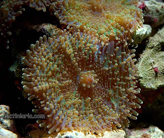 corallimorpharia yuma
